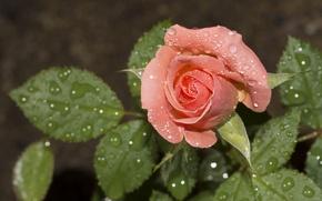 Обои бутон, роза, листья, капли