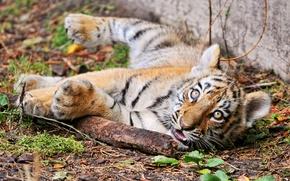 Картинка кошка, взгляд, тигр, детеныш, тигренок, палка, амурский, ©Tambako The Jaguar