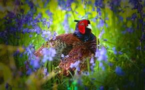 Картинка цветы, птица, колокольчики, фазан