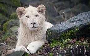 Картинка камни, хищник, лев