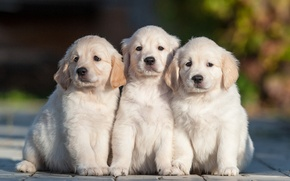 Картинка собаки, щенки, трио, троица