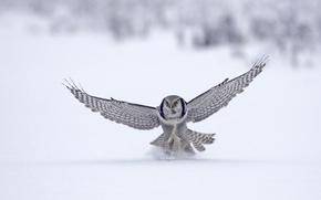 Картинка зима, снег, животное, птица, полёт, сокол, bird, flight, winter, snow, animal, 1920x1080, falcon