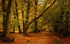 Картинка дорога, осень, лес, деревья, Англия, England, Ashridge Wood, Лес Ашридж, Беркшир, Berkshire