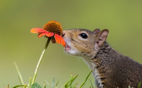 Картинка цветок, белка, зверек, любопытство, гайлардия
