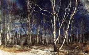Картинка деревья, природа, берёзы