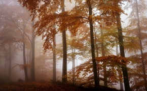 Обои лес, осень, туман