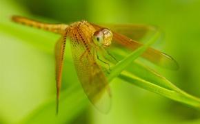 Обои стрекоза, трава, крылья, насекомое, природа