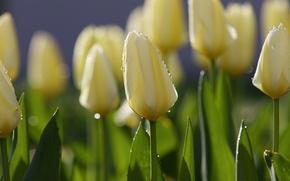Обои цветы, утро, роса, весна, тюльпаны, капли