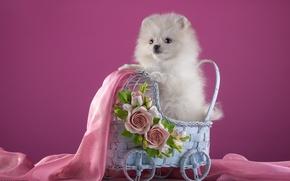 Картинка белый, цветы, коляска, щенок, ткань, шпиц