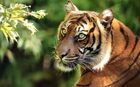 Картинка морда, тигр, портрет, хищник, ветка, Суматранский тигр