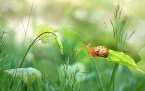 Картинка зелень, трава, листья, улитка, стебель, боке