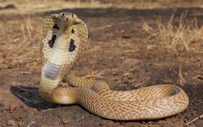 Картинка viper, desert, reptile, cobra snake, king cobra
