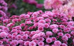 Картинка осень, макро, цветы, сиреневый, хризантемы, боке