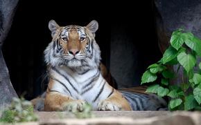 Обои тигр, хищник, лежит, полосатый, отдыхает