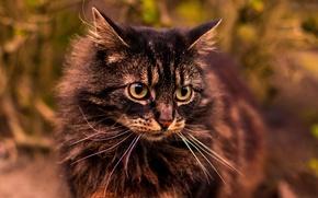 Картинка кошка, кот, взгляд, серый, фон, портрет, пушистый