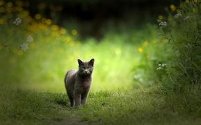 Картинка кошка, кот, природа, серая