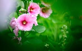 Обои цветы, размытость, зелень, розовые, мальва, листья