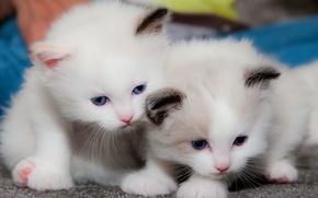 Обои малыши, котята, парочка