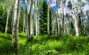 Картинка ель, небо, природа, брёзы, трава, россия, лес