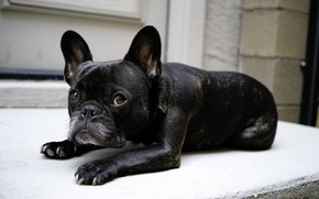 Картинка друг, собака, Bulldog