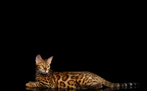 Картинка кошка, лежит, черный фон, пятнистая, Бенгальская кошка, Бенгал