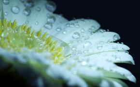 Картинка цветок, вода, капли, роса, лепестки
