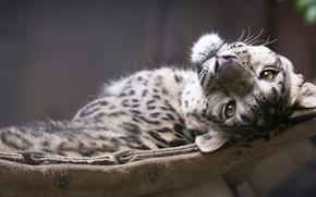 Картинка взгляд, морда, snow leopard