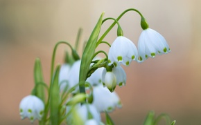Картинка макро, весна, первоцвет, белоцветник