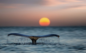 Картинка море, вода, хвост, океан, солнце, кит, закат