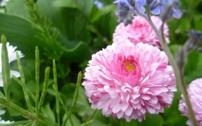 Картинка Макро, Цветы, Розовый, Беларусь
