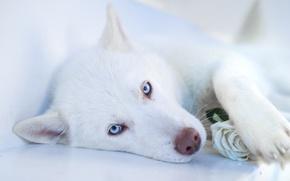 Картинка морда, собака, белая, хаски