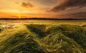 Картинка поле, небо, закат, колосья