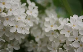 Обои белый, лето, дерево, Сирень, цветет