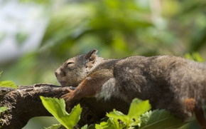 Обои отдых, листва, ветка, белка, спит