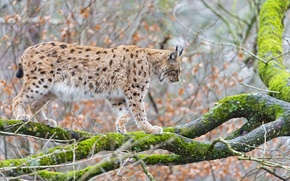 Картинка кошка, дерево, мох, ветка, рысь, ©Tambako The Jaguar
