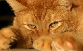 Обои кошка, рыжий, взглеад