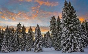 Картинка зима, лес, облака, снег, утро, Швейцария, ели