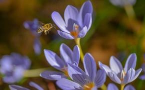 Обои макро, насекомое, шафран, крокусы, пчела, весна