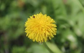 Картинка солнце, макро, цветы, желтый, божья коровка, Одуванчик