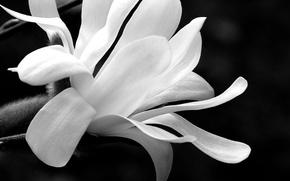 Картинка flower, bokeh, black and white, petals, Magnolia, b/w