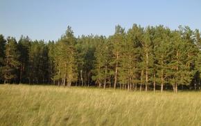 Картинка лес, трава, желтый, сосны