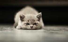 Картинка взгляд, серый, котёнок