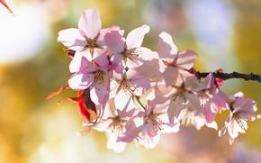 Картинка цветы, вишня, ветка, весна, цветение