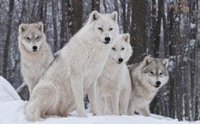 Картинка природа, хищник, семья, волки, зима.снег