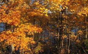 Картинка осень, лес, листья, деревья, октябрь, forest, Nature, trees, yellow, жёлтые, autumn, leaves, fall, october
