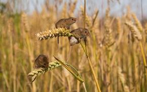 Картинка поле, колосья, мыши, трио, мышки, полевки