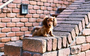 Обои Собака, Стена, Взгляд, Кирпичи