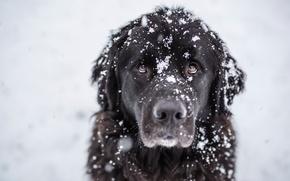 Картинка взгляд, снег, друг, пёс