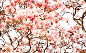 Картинка деревья, цветы, весна, магнолия