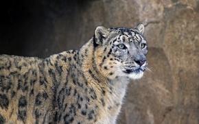 Картинка хищник, зверь, ирбис, семейство кошачьих, сне́жный барс